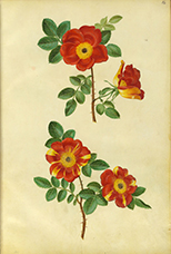 Hans Simon Holtzbecker: Moller-Florilegium, Bd. 3, Hamburg, um 1660, Fol. 16: a. Rosa foetida Herrm. Bicolor, Kapuziner-Rose b. Rosa foetida Herrm. Jaune Bicolor, Kapuziner-Rose