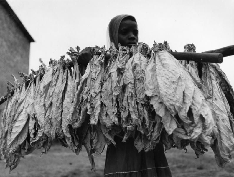 Tabak-Ernte in Rhodesien, heute Simbabwe, Südafrika, aus der Serie 'Die Welt des Tabaks', Foto: Ehrhardt, Alfred (1956)