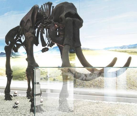 Ansicht des Skelettes als Leihgabe des Geomuseums für eine Sonderausstellung im LWL-Archäologiemuseum Herne (Foto: LWL)