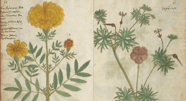 Pflanzenzeichnungen aus dem 'Codex Kentmanus', 16. Jahrhundert, aus der Sammlung von: Klassik Stiftung Weimar (Rechte vorbehalten - Freier Zugang)